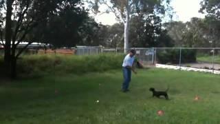 Chad Dachshund Puppy Training With K9 Master Class