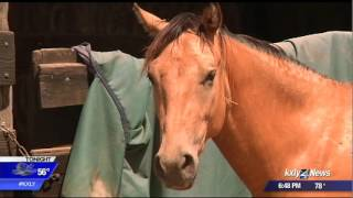 Four horses rescued by SCRAPS up for adoption