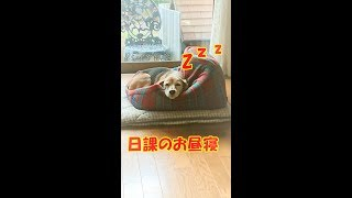 昼寝するビーグル犬のクッキー beagle dog thumbnail