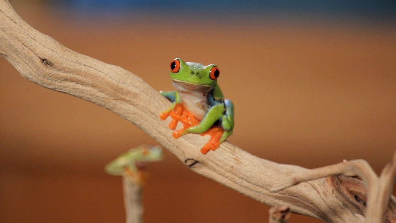 Cute Baby Photos Free Wallpapers 5 Cool Facts About Red Eyed Tree Frogs Pet Reptiles