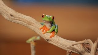 5 Cool Facts about Red-Eyed Tree Frogs | Pet Reptiles