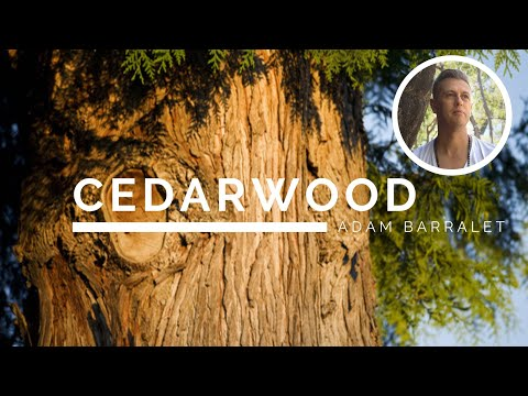 cedarwood---the-oil-of-grounded-strength