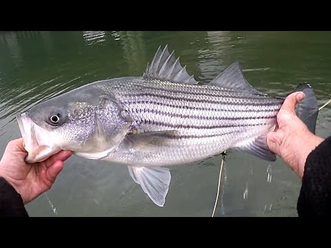NEW YORK CITY - NY SALTWATER SURF FLY FISHING For BROOKLYN STRIPED BASS - April 2020 NYC