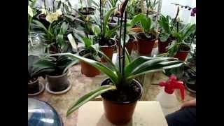 Как поливать орхидеи. Как я поливаю орхидею. Личный опыт.  Фаленопсис, Ванда, Мильтония, Дендробиум.(Как поливать орхидеи. Как я поливаю орхидею. Личный опыт. Орхидеи - Фалинопсис, Ванда, Мильтония, Дендробиум,..., 2015-04-29T01:51:43.000Z)
