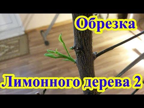 Обрезка комнатного лимона часть 2