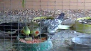 Попугаи Корелла Советы по уходу и разведению(Попугаи Корелла Советы по уходу и разведению. Здесь немного расскажу про своих птиц. https://vk.com/public139025674 Здесь..., 2016-05-05T01:06:21.000Z)