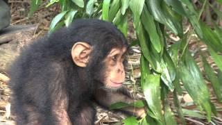 Anzac, bebita manca rescatada en Tchimpounga por el IJG