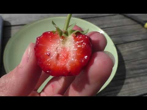 Сорт Мице-Шиндлер обзор ягод клубники