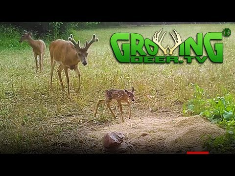 Best Deer Attractant Revealed And It's Cheap - LiveOutdoors