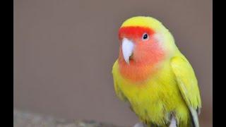 Kicauan Burung LOVE BIRD High Quality Sound HD