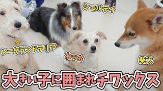 にこちゃん『みんな大きいでぇーす!』 その後、柴犬のエマちゃんと相撲...