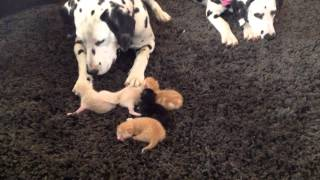Dalmatian Puppies Meet The Kittens. Cute. Louie Left, Lady Right.