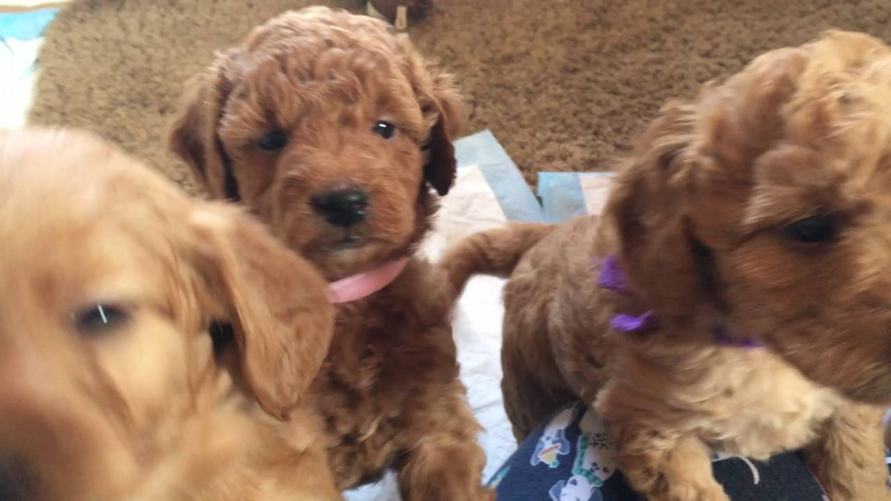 Pringles/Paddington F2b Teddybear Mini doodles 5 wks by Happenings at Lamgo  Farms, LLC