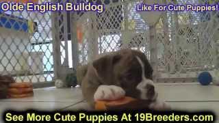 Olde English Bulldog, Puppies,for,sale, In,orlando Florida, Fl, Deltona,melbourne,palm Coast,