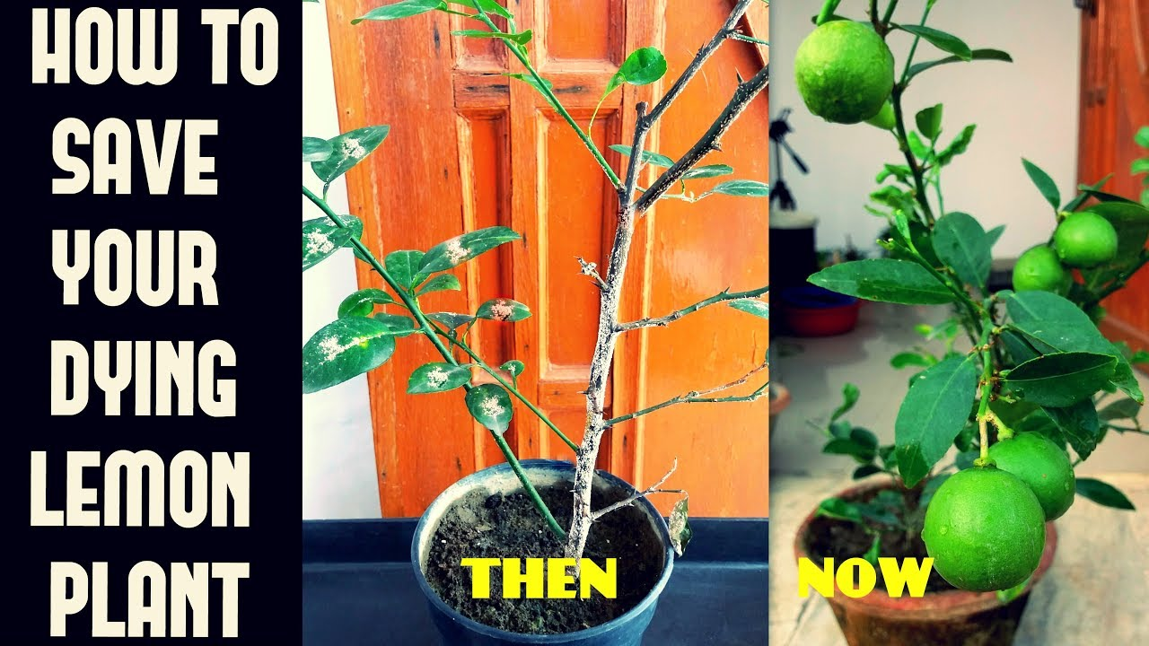 How To Save Your Dying Lemon Plant Common Problems N Their Cure
