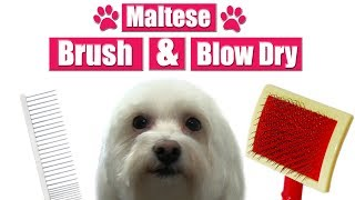 How To Brush & Blow Dry A Maltese