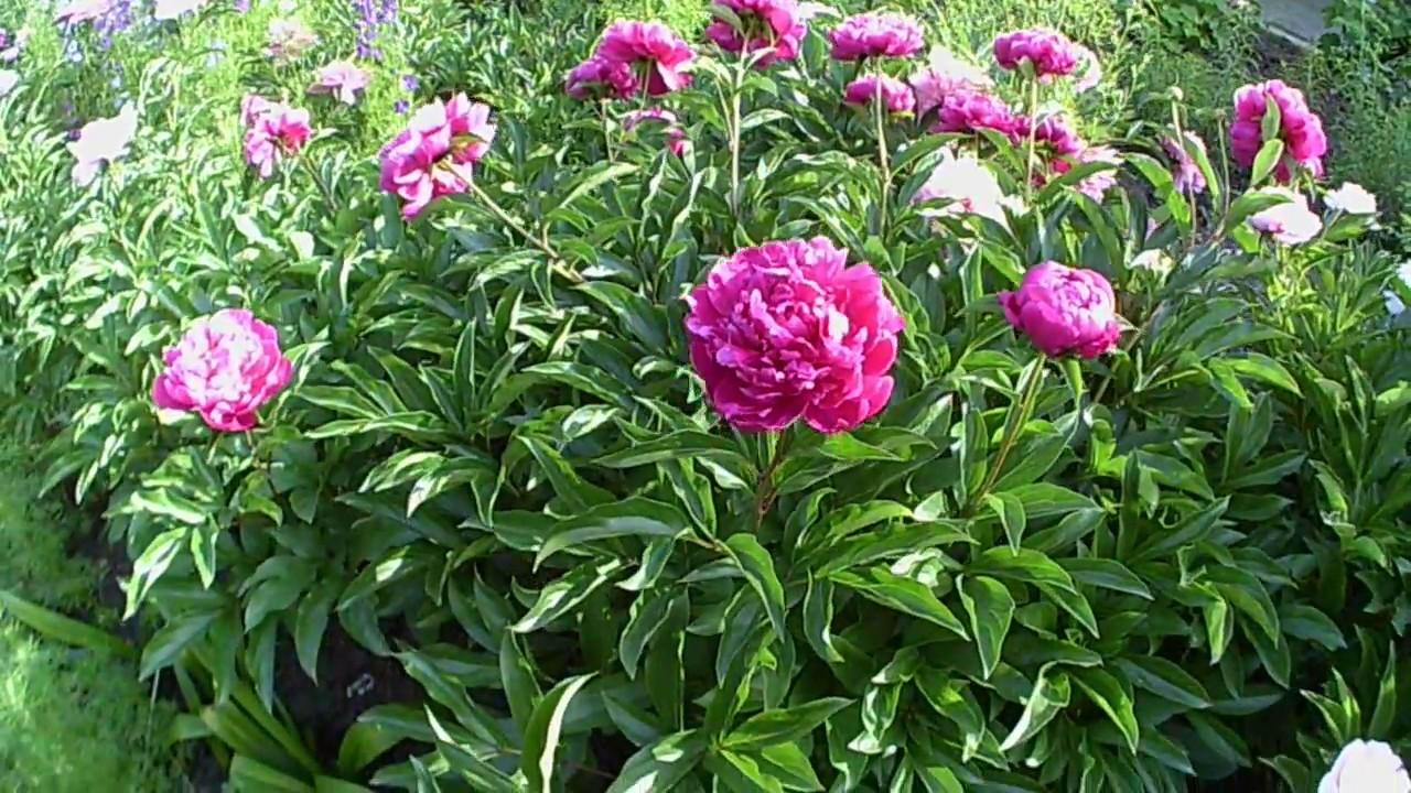 Лето! Красивые Цветы На Клумбе! - YouTube