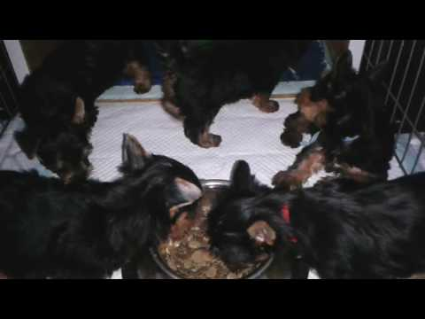 Australian Silky terrier - puppies