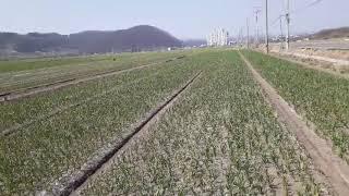 경북의성 마늘농장 전경