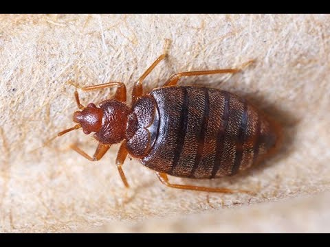 In 60 Seconds 5 Effective Home Remedies For Bedbugs Youtube