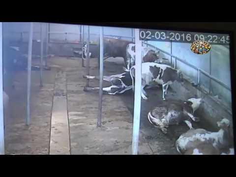 elektrik akimina kapilan ineklerin telef olması