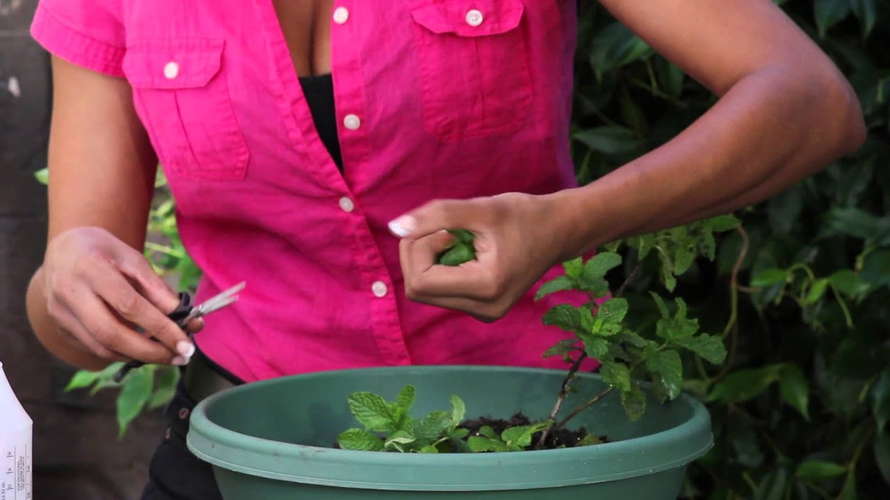 how to harvest and preserve your mint crop the chef 39 s garden youtube. Black Bedroom Furniture Sets. Home Design Ideas