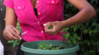 How to Harvest and Preserve Your Mint Crop : The Chef
