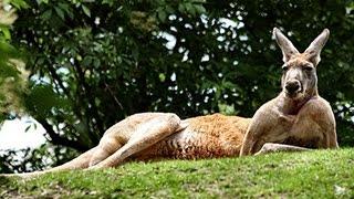 Mignon et drôle de kangourou Compilation 2014 [NEW HD]