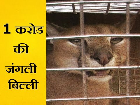 Smuggler arrested with rare caracal wild cats in mirzapur-जंगली बिल्लियों की दुर्लभ प्रजाति