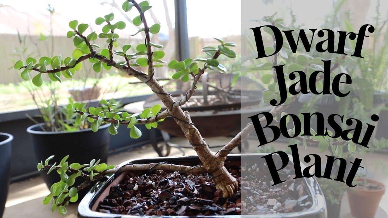 Easy How To Dwarf Jade Bonsai Tree Youtube Wiring Video