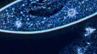 Работа сократительных вакуолей инфузории туфельки wmv