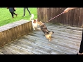 Pomsky Greets King Charles Spaniel and Wants To Play!