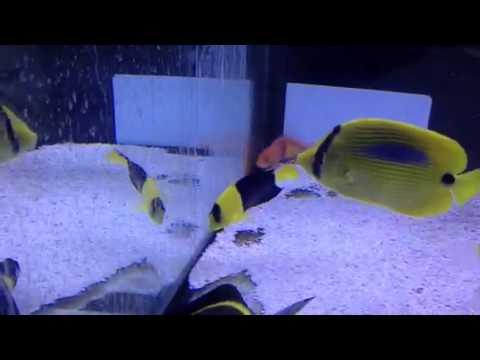 Paul Talbot Talking About Keeping Bicolour Angel Fish