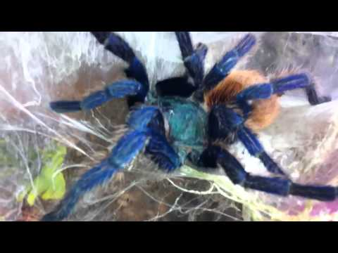 Tisoyspiders C.Cyaneopubescens Molt