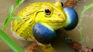 Indian Bullfrog Mating - Amazing Frog Sound - Yellow Frog Call - Tiger Frog