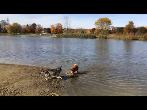 Finnish Spitz played with other dogs in a dog park