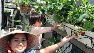 🇯🇵Hái Dâu Tây Vườn Nhà & Ăn Ngay Tại Gốc, Hái Măng Tây, Đậu Hà Lan  #216