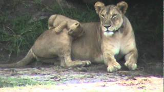 Lioness and lion cubs at Tarangire National Park, Tanzania, November 19, 2011: 3/6