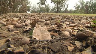 Georgia pecan crops damaged by Michael could spike holiday prices