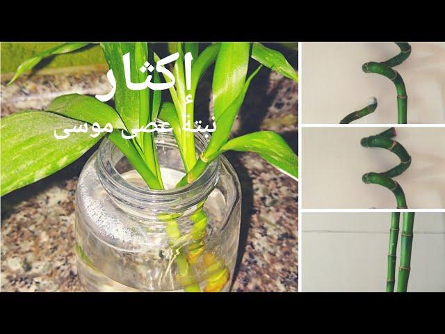 إكثار نبتة عصا موسى With An Update Lucky Bamboo Propagation Youtube