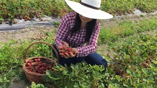🇨🇦 Đi farm Hái Dâu Tây Ăn Tại Chỗ || U Pick Strawberry. Cuộc Sống Canada.