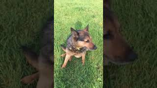 Meet Roxie a Australian Cattle Dog currently available for adoption at Petango.com! 8/21/2018 11:53: