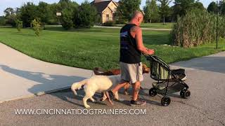 Go for a walk with your baby and your dogs! Cincinnati Dog Trainers Off Leash K9