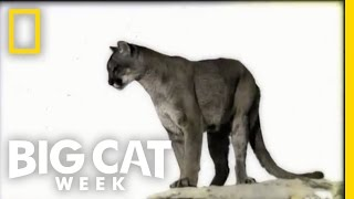 An Elusive Trail | Big Cat Week
