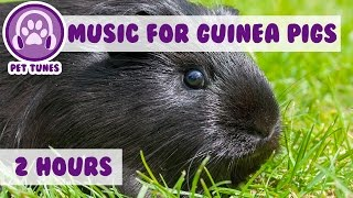 Over 2 Hours of Guinea Pig Music! Relax Your Guinea Pig with Soothing Music. EXTRA LONG VIDEO