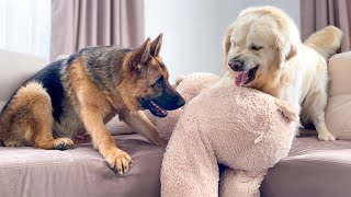 Golden Retriever doesn't want to share his toy with a German Shepherd