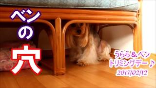 【ヨークシャーテリア専門犬舎チャオカーネ】 うららとベンがトリミング...
