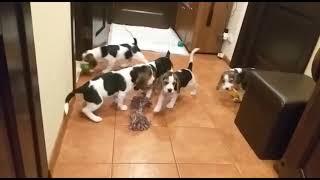 продаются щенки Бигль