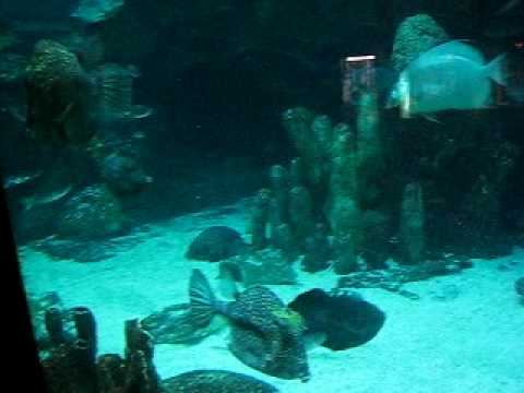 Swimming With The Trunkfish And Cowfish