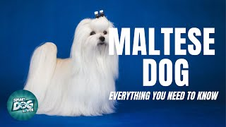 Maltese Dog  Must Know Facts for the Owner